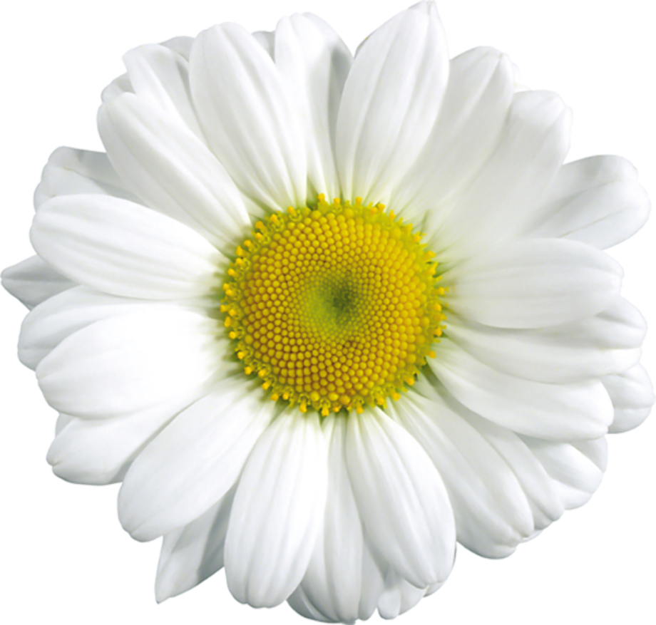 Download High Quality daisy clipart light yellow ... (920 x 877 Pixel)