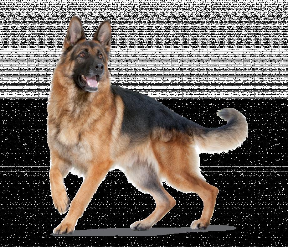 Dog clipart german shepherd
