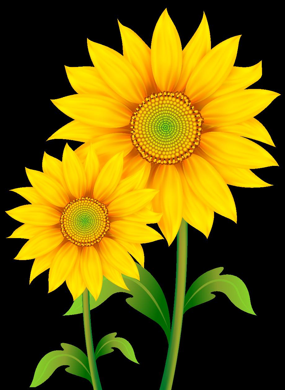 Sunflower real