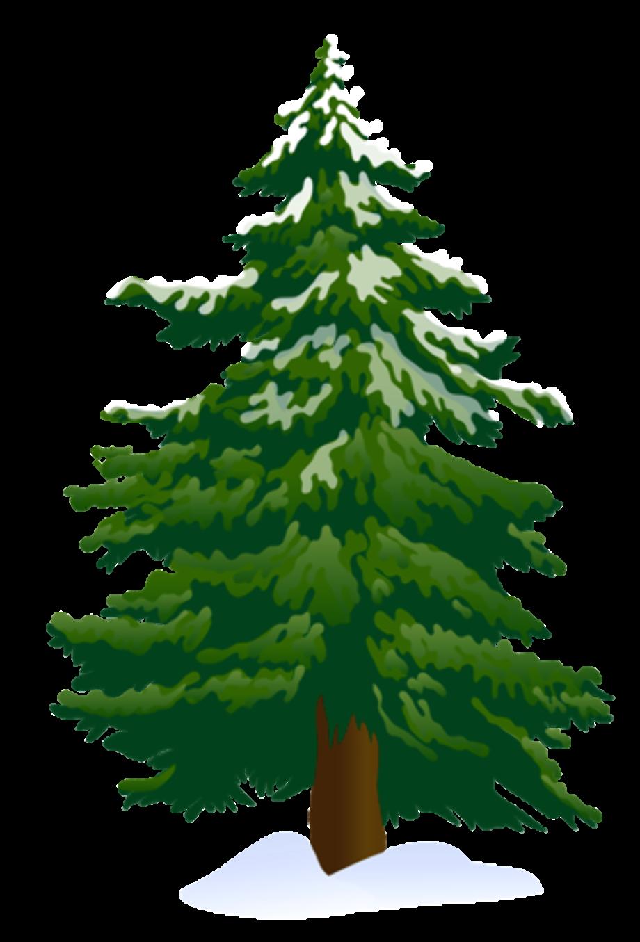 Pine tree fir