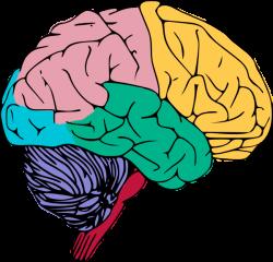 brain clipart learning