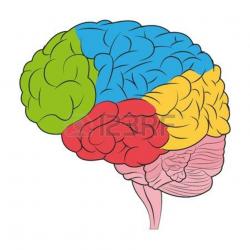 brain clipart colorful