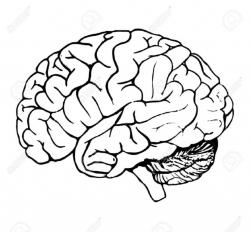 brain clipart outline