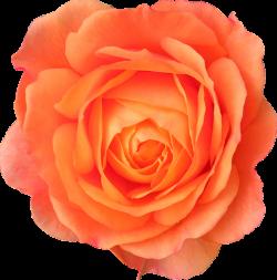 rose transparent orange